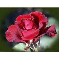 Роза Erotika
